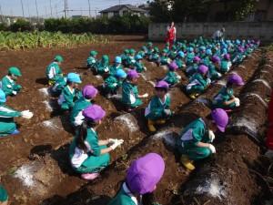 芋掘りはじまり